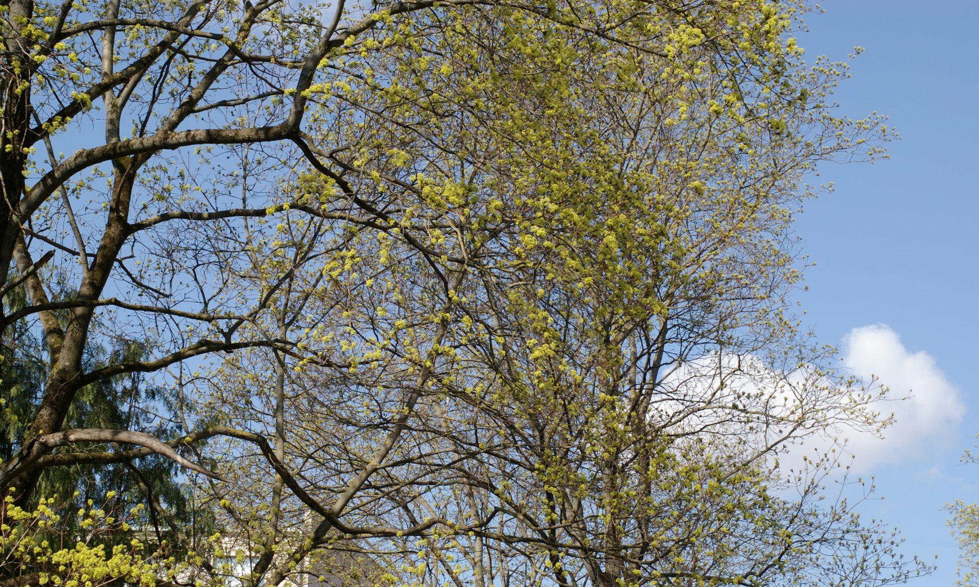 Išsaugokime Vilniaus medžius
